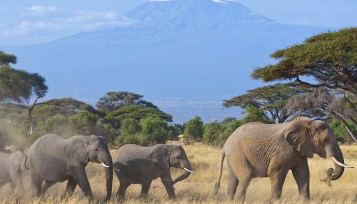 Elephants free ranging in Amboseli
