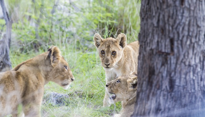 Three lion cubs close to Lions Bluff Lodge.