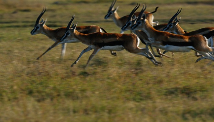 Thompson's gazelle running across the Masai Mara.