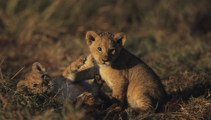 Two lion cubs playing in the grass at the Masai Mara.