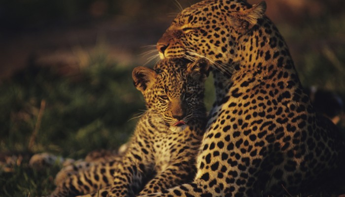 Leopard mother and cub at the Masai Mara.