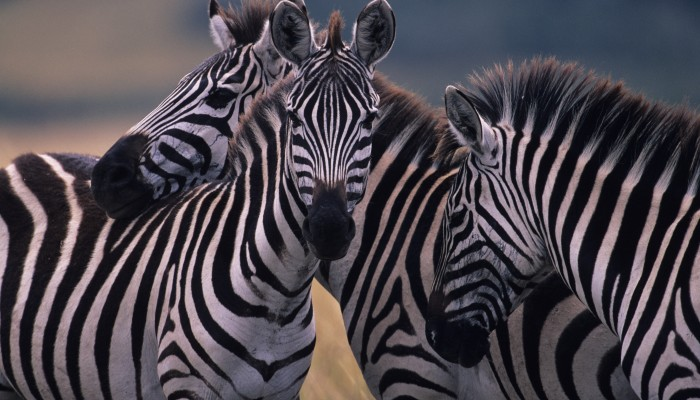 Zebras at the Masai Mara Reserve.